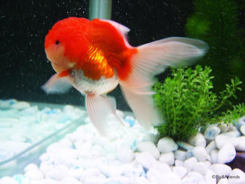 Black Lionhead Goldfish